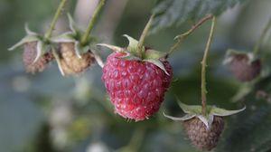 Preview wallpaper raspberry, berry, plant, macro