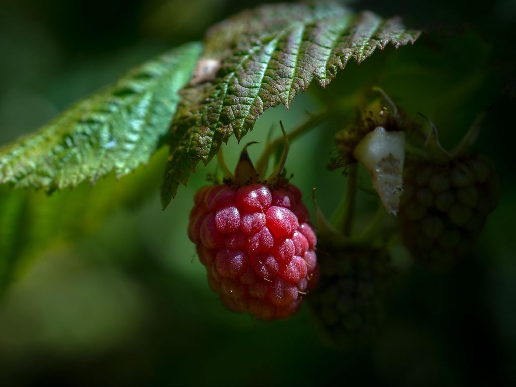 1024x768 Wallpaper raspberry, berry, ripe, leaf