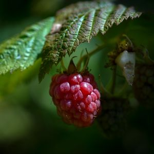Preview wallpaper raspberry, berry, ripe, leaf