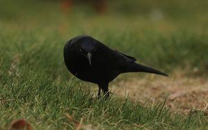Preview wallpaper raven, bird, grass, wildlife