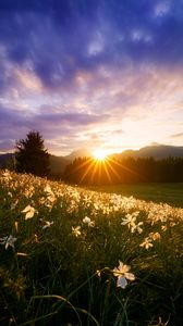 Preview wallpaper rays, sun, daffodils, flowers, grass