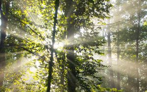 Preview wallpaper rays, trees, branches, forest
