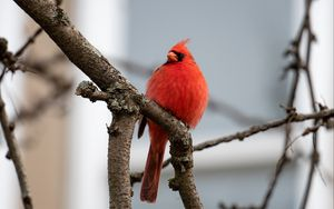 Preview wallpaper red cardinal, bird, branches, watching, wildlife