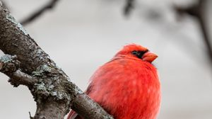 Preview wallpaper red cardinal, bird, branches, red, wildlife