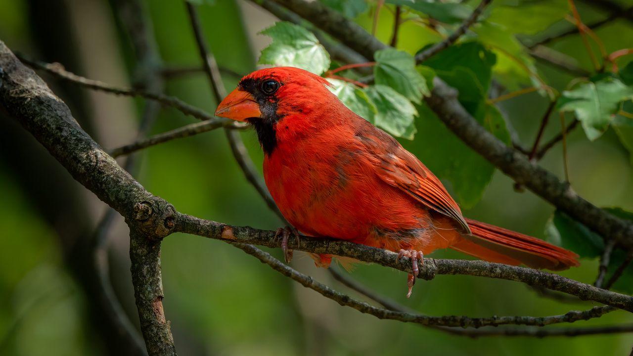 【壁纸桌面】红衣主教,鸟,明亮,树枝,树叶高清壁纸免费下载