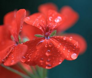 Preview wallpaper red, flower, drops, water, geranium, pelargonium, close-up