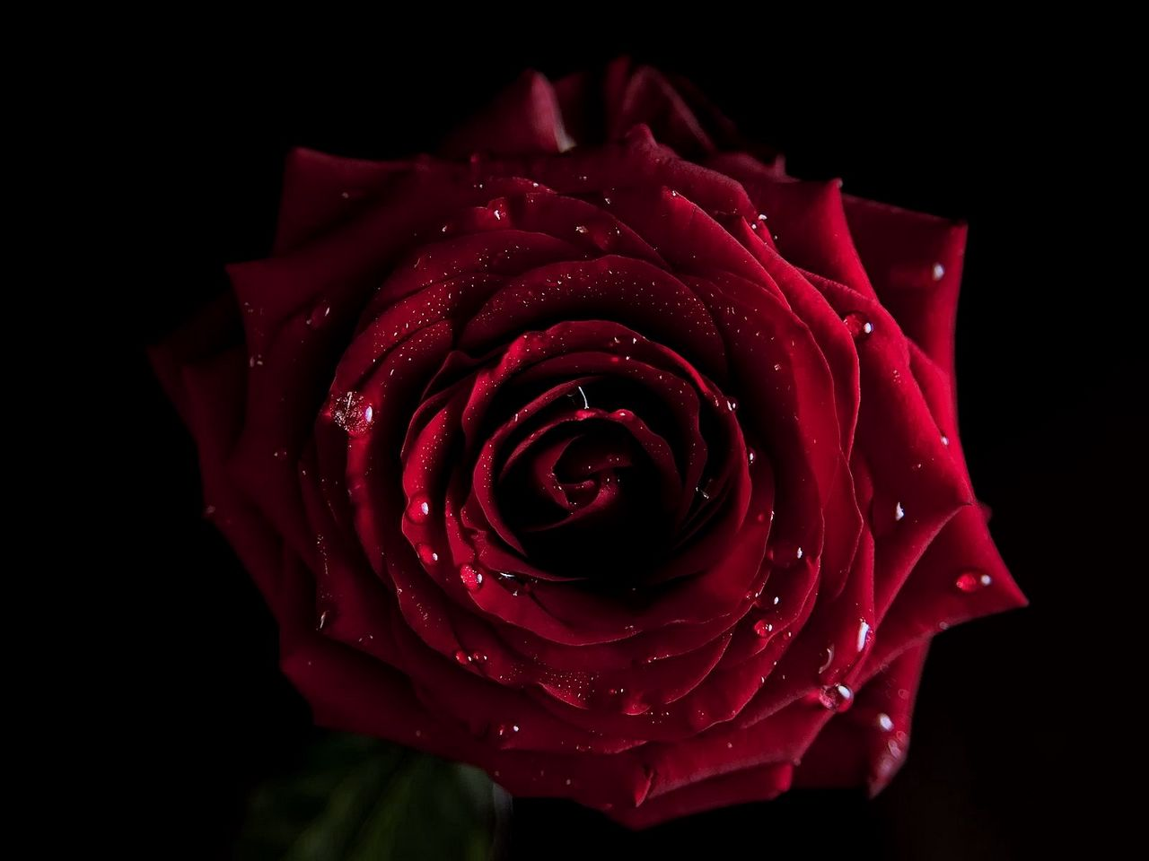1280x960 Wallpaper red, flowers, macro, rose