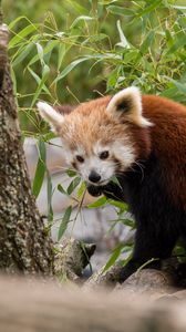 Preview wallpaper red panda, animal, leaves, furry