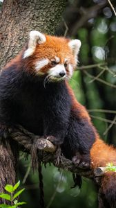 Preview wallpaper red panda, animal, tree, branches