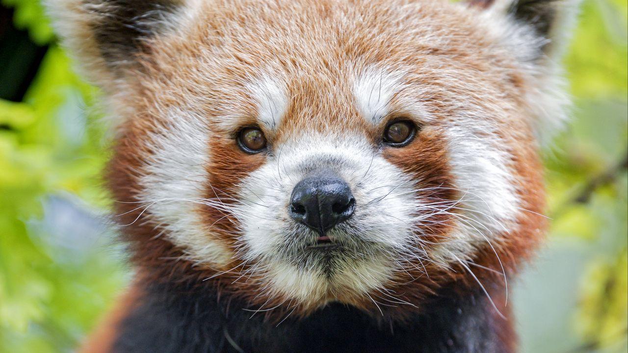 【壁纸桌面】墙纸熊猫,熊猫,口吻,动物高清壁纸免费下载