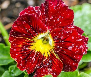 Preview wallpaper red, petals, water, drops, dew, macro, pansies