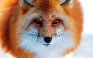 Preview wallpaper red, winter, fox, nose, snow