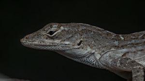 Preview wallpaper reptile, lizard, dark