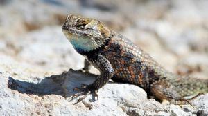 Preview wallpaper reptile, lizard, glance, stone