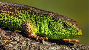 Preview wallpaper reptile, look, lizard, color