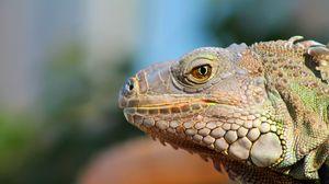 Preview wallpaper reptile, muzzle, profile