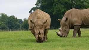 Preview wallpaper rhino, couple, food, grass