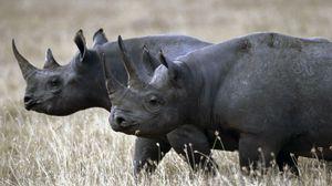 Preview wallpaper rhino, couple, walk, grass