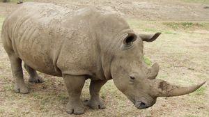 Preview wallpaper rhino, dirt, grass