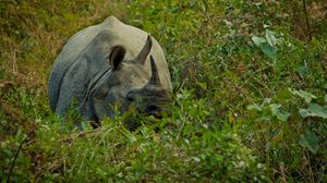 Preview wallpaper rhino, grass, hide, horn