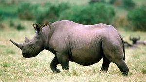 Preview wallpaper rhino, grass, walk