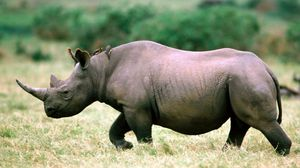 Preview wallpaper rhino, grass, walk, sky