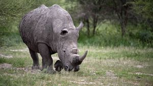 Preview wallpaper rhino, walk, grass, huge