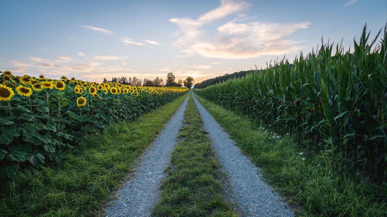 【壁纸桌面】路,向日葵,草,距离高清壁纸免费下载
