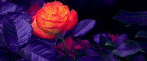 Preview wallpaper rose, bud, orange, purple