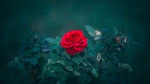 Preview wallpaper rose, bud, red, bush, blur, leaves