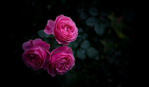 Preview wallpaper rose, buds, bush, garden, pink