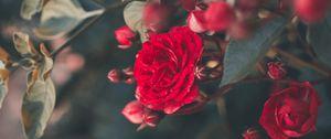 Preview wallpaper rose, bush, bloom, garden, red, blur