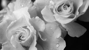 Preview wallpaper rose, flower, petals, drops, macro, black and white