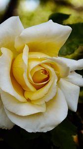 Preview wallpaper rose, flower, petals, macro, yellow