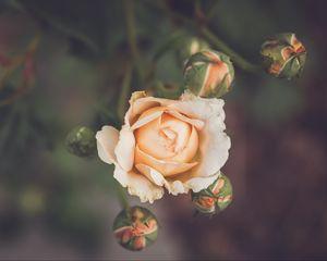 Preview wallpaper rose, flower, petals, buds, macro