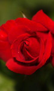 Preview wallpaper rose, flower, petals, red