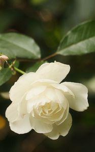 Preview wallpaper rose, flower, petals, white, macro, blur