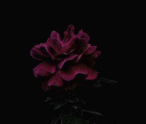 Preview wallpaper rose, flower, pink, dark