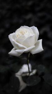 Preview wallpaper rose, flower, white, bw, bloom