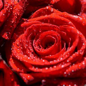 Preview wallpaper rose, flowers, petals, drops, macro, red