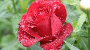 Preview wallpaper rose, petals, drops