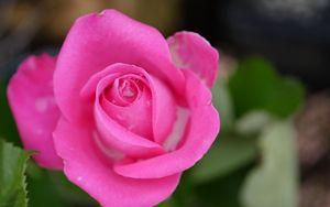 Preview wallpaper rose, petals, macro, pink