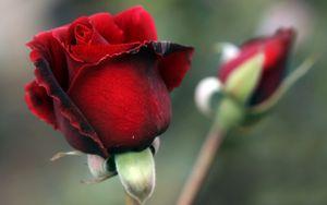 Preview wallpaper rose, petals, red
