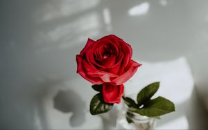 Preview wallpaper rose, red, flower, closeup