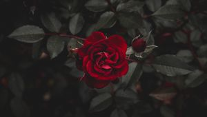 Preview wallpaper rose, red, flower, bud