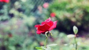 Preview wallpaper rose, stem, petals, leaves