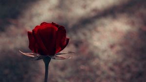 Preview wallpaper rose, stem, red, background, dark