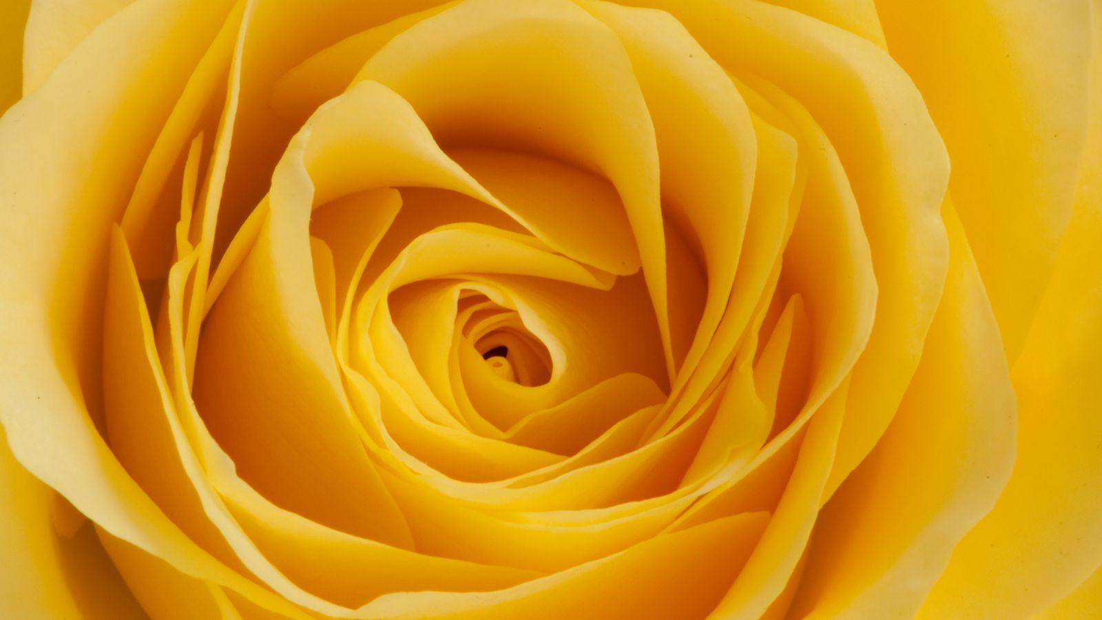 1600x900 Wallpaper rose, yellow, bud, petals, macro