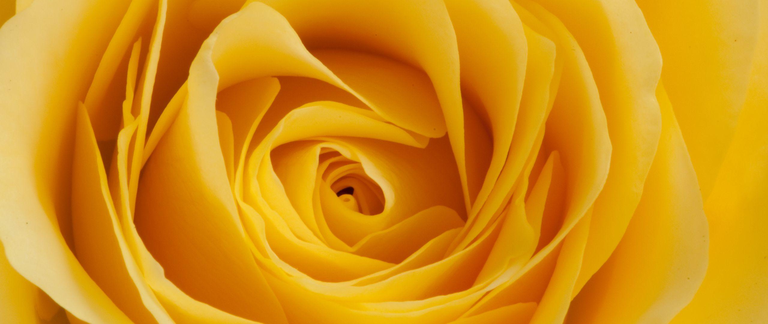 2560x1080 Wallpaper rose, yellow, bud, petals, macro