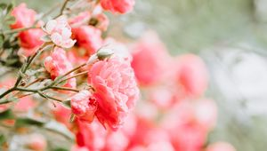 Preview wallpaper roses, buds, bush, blur, pink